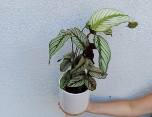 KALATEA CALATHEA WHITESTAR W DON. 12CM